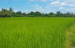 Zielony ryżu taras, ryżu pole zielona trawa, góra i niebieskie niebo, fotografia stock