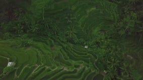 Zielony ryżu tarasu anteny krajobraz Zielona ryżowa plantacja na góry pola trutnia widoku Uprawia? ziemi? i rolnictwa poj?cie zdjęcie wideo