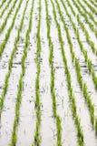 Zielony ryżowy kultywaci pole Obrazy Stock