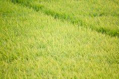 Zielony ryżowy kultywaci pole Zdjęcia Stock