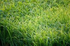 Zielony ryżowy kultywaci pole Obrazy Royalty Free