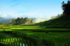 Zielony ryżu pola kunik Zdjęcia Royalty Free