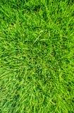 Zielony ryżu pole Fotografia Royalty Free