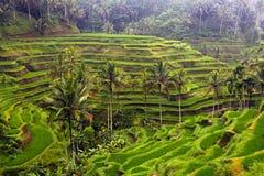 Zielony ryżu pole, palmy i Zdjęcie Royalty Free