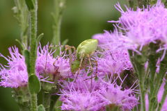 Zielony rysia pająk na Ironweed wildflower Zdjęcia Royalty Free