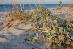 Zielony rzep z suchą trawą przy pustą lato plażą w ranku Morza i oceanu krajobraz obrazy stock