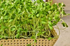 Zielony słonecznik flancy dorośnięcie od ziarna w koszu w domu Zdjęcie Stock