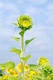 zielony słonecznik z niebieskim niebem Obraz Stock