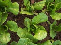 Zielony sałaty gospodarstwo rolne Obraz Royalty Free