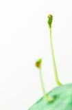 Zielony sadzonkowy przyrost Fotografia Stock