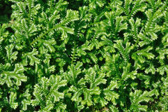 zielony selaginella Obraz Royalty Free
