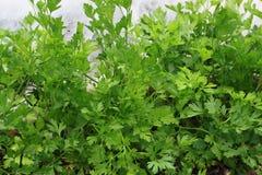 Zielony seler w polu Obraz Royalty Free