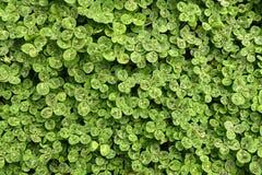 Zielony shamrock Obrazy Royalty Free