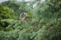 zielony solitaire heron dziecko Obraz Stock