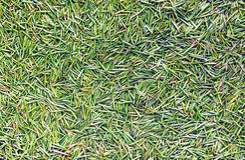Zielony sosnowy kolca tło Zdjęcie Royalty Free