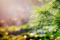 Zielony sosnowy konar iluminujący światłem słonecznym zdjęcia royalty free