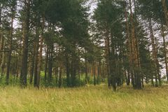 Zielony sosnowy las filtrujący Zdjęcia Royalty Free