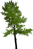 Zielony sosnowy wysoki drzewo na bielu Zdjęcie Stock
