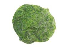 Zielony spirogyra jest świeżych wod algami bardzo wysokich wapnie i karoten, używać dla gotować, ono jest popularny w północy i N zdjęcia royalty free