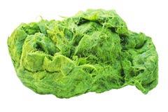 Zielony spirogyra jest świeżych wod algami bardzo wysokich wapnie i karoten, używać dla gotować, ono jest popularny w północy i N obrazy stock
