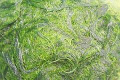 Zielony spirogyra jest świeżych wod algami bardzo wysokich wapnie i karoten, używać dla gotować, ono jest popularny w północy i fotografia stock