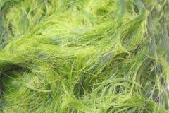 Zielony spirogyra jest świeżych wod algami bardzo wysokich wapnie i karoten, używać dla gotować, ono jest popularny w północy i obrazy stock
