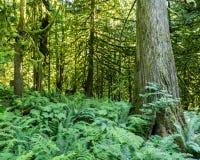 Zielony stary las w górze Brytyjski Columba Kanada Zdjęcie Stock