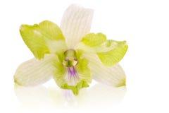 zielony storczykowy biel Zdjęcia Stock