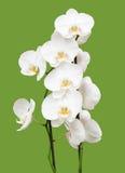 zielony storczykowy biel Zdjęcie Royalty Free