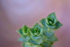 Zielony sukulentu wierzchołek Zdjęcie Stock