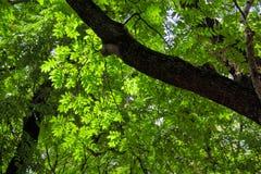 zielony szkotowy drzewo Fotografia Stock