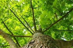 zielony tła lato widok zielony drzewo od dna up Patrzeje up pod drzewem Bagażnik, rozgałęzia się i opuszcza drzewo Obrazy Royalty Free