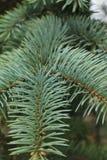 Zielony tło łap gałąź jadł z spiky pazur igłami obraz stock