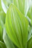 zielony tło liść Fotografia Stock