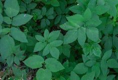 Zielony tło liście Slyti Pospolita ?wirzepa Aegopodium podagraria zdjęcie stock