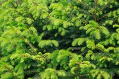 Zielony tło młoda jodła rozgałęzia się w wiośnie Natura projekt obraz stock