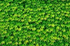 Zielony tło od liści Zdjęcia Royalty Free