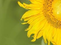 zielony tło słonecznik Fotografia Stock