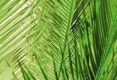 Zielony tło z drzewko palmowe liśćmi Zdjęcia Stock