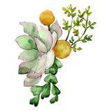 Zielony tłustoszowaty botaniczny kwiat Odosobniony bukiet ilustracji element zielony liść tła bazy projekta ustalona akwarela ilustracja wektor