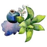 Zielony tłustoszowaty botaniczny kwiat Odosobniony bukiet ilustracji element zielony liść tła bazy projekta ustalona akwarela royalty ilustracja