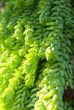 Zielony tłustoszowaty tło Zdjęcie Royalty Free