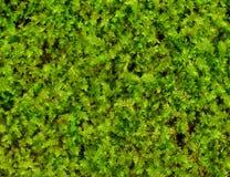 zielony tła moss Obraz Royalty Free