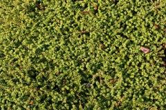 zielony tła ziele Fotografia Stock