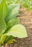 Zielony tabaczny pole Zdjęcia Royalty Free