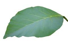 Zielony tekowy liść odizolowywający Fotografia Stock