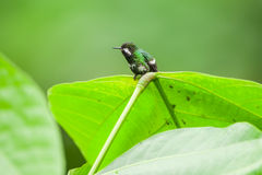 Zielony Thorntail Hummingbird, kobieta fotografia royalty free
