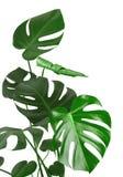 Zielony tropikalnej rośliny trzon i liście odizolowywający na białym tle obraz royalty free