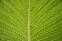 Zielony tropikalny liść fotografia stock