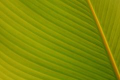 Zielony tropikalny liść natury tło Fotografia Stock